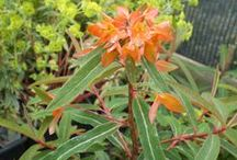 Euphorbia in all their glory / Euphorbia - diverse and indulgent