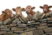 Cows (& related) / O gentle cau, contented frau, inert, exempt from violence. We will allau that you know hau to chew your cud in siolence.