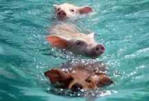"""Pigs (& related) / """"I wonder what Piglet is doing,"""" thought Pooh.  """"I wish I were there to be doing it, too."""""""