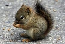 Squirrels / It is estimated that millions of trees grow thanks to squirrels forgetting where they burried their nuts