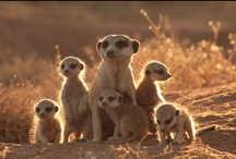 Meerkats / All things meerkat - toys, games, pics, where to see meerkats, you name it