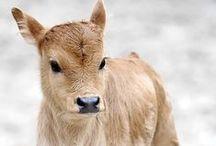 Bovine Babes / Baby dairy calf cuteness.