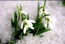 Hóvirágok / A tavasz első virága, Hóvirág