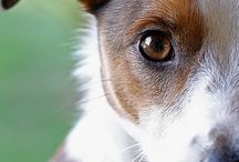 Jack:)Russell:) Dogs