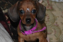 Doxie's Ala Carte / All things dachshund.  I've had the privilege of having a dachshund for a friend since I was seven years-old. I've used the names of some of them in my books, and my book characters have been known to have them as pets.
