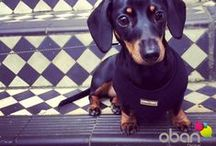 Peggy the Digital Dachshund / Meet Peggy - Obans 4 legged meeter and greeter!!