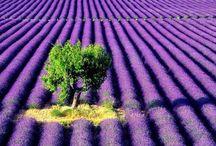 Lavender - Laventeli