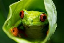 Cute But Sometimes Deadly Tree Frogs / As the name implies, these frogs are typically found in trees or other high-growing vegetation. They are cute but sometimes deadly.