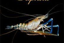 Saphira prawn / La crevette aux pinces bleues, the blue-legged prawn by Aquaprawna
