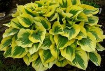 Hosta Dream / Hostas in all shapes and sizes, to gather in when possible, and add to my garden.
