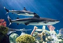 Sharks / Learn about #sharks and debunk myths during #SharkWeek! Find information about the sharks at Shedd Aquarium, plus check out books and classroom resources on sharks. #SharksatShedd