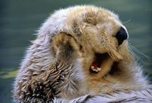 Otters / Sea otters are some of the cutest animals around! Check out our board all about them!