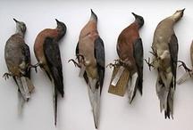 Research: Passenger Pigeon