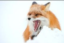 Research: Red Fox