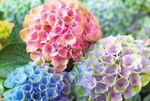 Hydrangeas  / I love the abundance of each petal and the colours of pastel