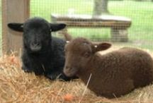The Animals of Ambler Farm / Visit our friends Nutmeg and Clover the sheep, Betty and Raymond the goats and our numerous rabbits and chickens.