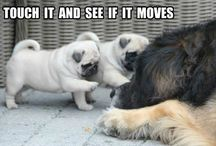 PUG MEMES / The most adorbale doggy in the vorld memes