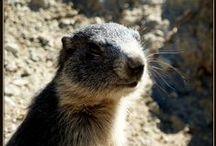 babette-Photographies .marmottes / sur le sentier des marmottes à Eygliers