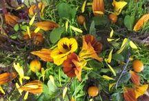 Sunflowers:Maddocks Farm Organics. Growing & using organic edible flowers / Sunflowers growing at Maddocks Farm Organics & ideas for using edible sunflowers. www.maddocksfarmorganics.co.uk Available from July - October