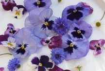 Violas & Pansies : Maddocks Farm Organics. Growing & using organic edible flowers  / Violas growing at Maddocks Farm Organics & ideas for using edible violas and pansies. www.maddocksfarmorganics.co.uk Available from March to October.