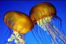 Jellyfish = Águas-Vivas / Beautiful, Powerful and Colorful Beings.
