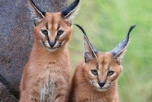 Caracal Kitties / The Caracal Wildcat is from Africa & Asia; it's a smaller breed of wildcat with a slim build and 3' in length.  It appears almost as an interbreed of a Cougar & a Lynx--HOWEVER--there is NO relation to EITHER breed.  About 80% of Pinners 'caption' the Caracal as a Lynx--WRONG--or as a 'Caracal Lynx' -- there's NO such cat.  It's incorrect & obviously a pet peeve of mine.  Caracals are genetically linked to the Serval; both are small in stature, yet long & lean throughout the body. Get it Right. / by Julie.