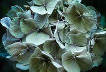 Hydrangeas/Hortensias
