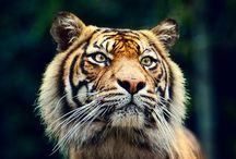 Tigers: Power & Beauty / The most awesome cat in nature.  I love tigers.  This is a collection of those magnificent animals.