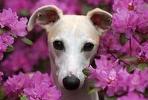 Whippets / I love whippets.  They are one of the beautiful dog breeds I admire.  I would love to have one someday.