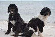 Portuguese Water Dogs / Portuguese Water Dogs are another favorite dog breed of mine.  They are truly a beautiful breed.