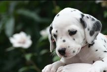Dalmatians / I have always loved these dogs.  They are so amazingly beautiful.