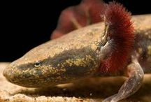 Mudpuppy / Mudpuppies, also called waterdogs, are one of only a few salamanders that make noise. They get their name from the somewhat embellished notion that their squeaky vocalizations sound like a dog's bark.