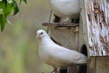 Kippen en duiven