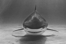 Sharks / Sharks are fascinating simply because they are on that fine line between sheer terror and pure beauty. / by Gerry Monroe