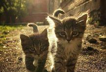 Cats / Katten - Siamees - lang haar - kort haar - kittens