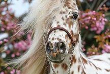 Paarden / Paarden - western - veulens - schimmel ect.