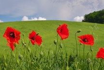 Poppies, whats not to like?