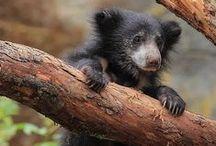 Bears / Große und kleine Bären.