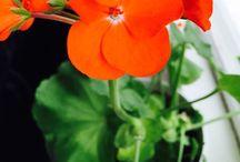 My Beloved Pelargoniums/Geraniums