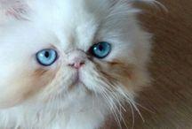 Persian Himalayan Cat / Noir's timeline...Beautiful persian himalayo cream point