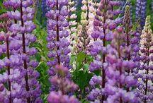 Finnish flowers / Kukkia, kesän tuntua...