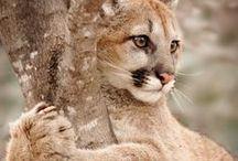 Cougars / Une espèce animale tuée par l'homme