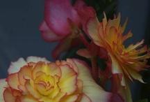 Belle begonias