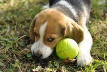 Moody / Photo de notre Beagle Moody