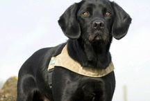 Treo Military Hero & more military Dogs... / ...Treo, Dave Heyhoe and all the heroes who have saved so many...we thank you for protecting our Queen & country  ...to those also world wide who have given their lives & paws to make the World a better place ... We have great respect for you all...