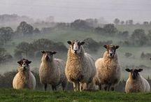 Sheep~ish