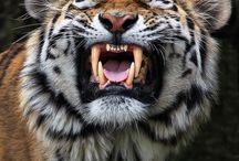 Wild cats / Wild