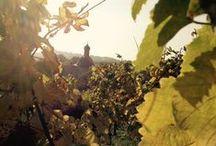 Through the vineyards