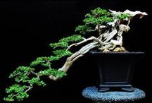 Bonsai Beauty / Amazing Bonsai trees
