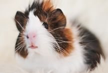 Animals / cute rabbits, guinea pigs and other animals